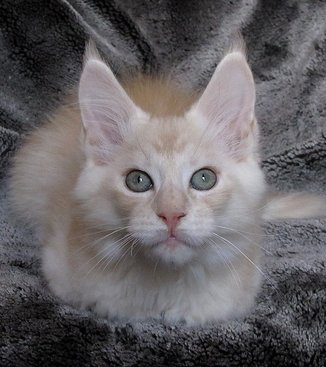 Chaton Maine Coon Paris disponible